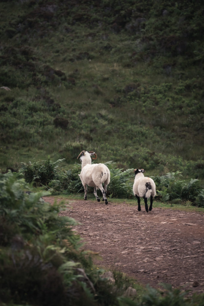 Moutons balade au Point of Sleat